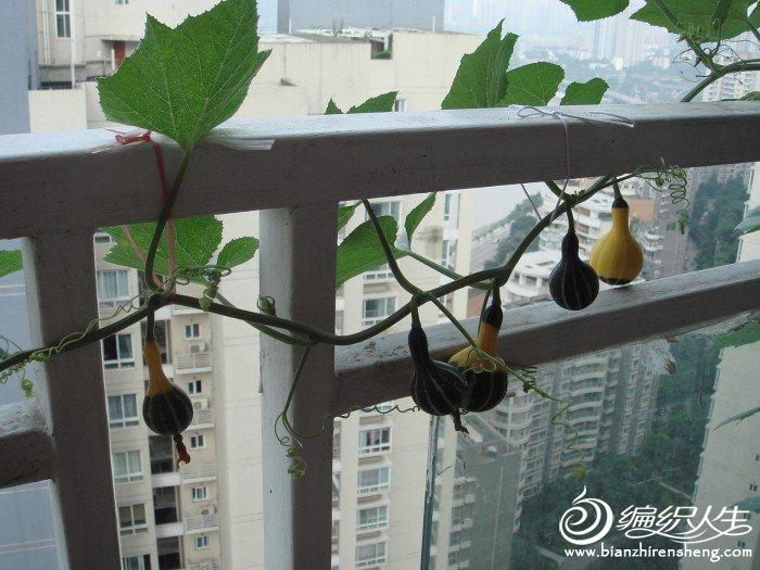 顺便秀一下我家阳台上的花花和小葫芦瓜