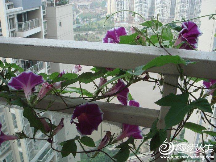 顺便秀一下我家阳台上的花花