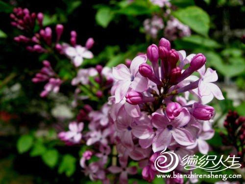 紫丁香.jpg