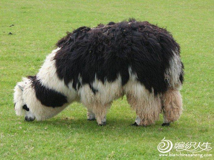 800px-Unshorn_alpaca_grazing.jpg