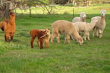 220px-A_group_of_Alpacas_on_a_property_including_cria.jpg