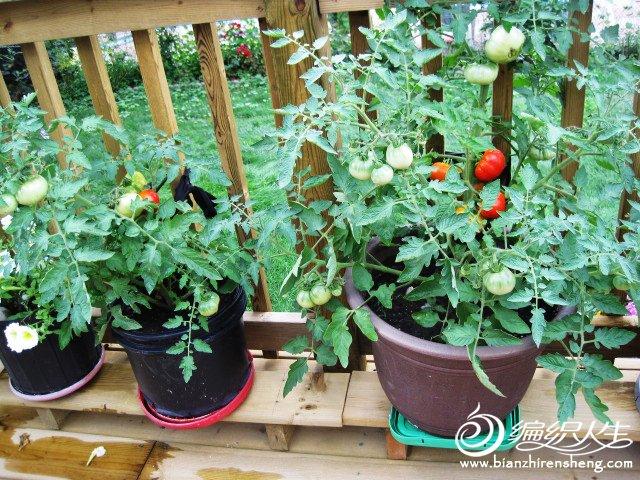 织姐--自种花盆番茄.jpg