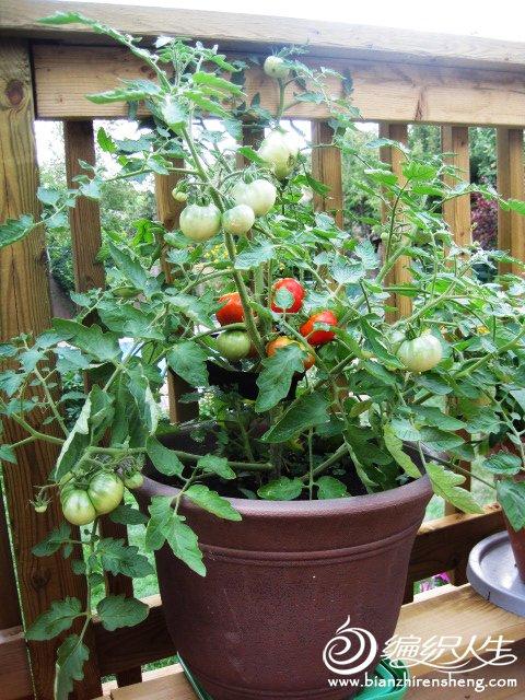 织姐--自种花盆番茄 (1).jpg