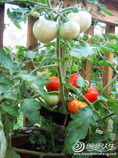 织姐自种花盆番茄熟啦!