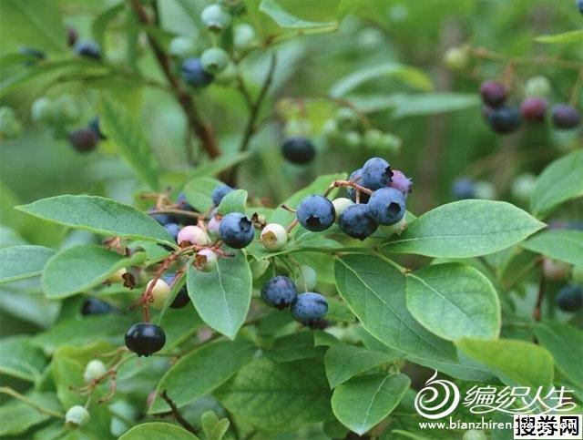 蓝莓.jpg