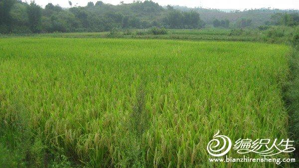 家乡的稻子成熟了,美吧?