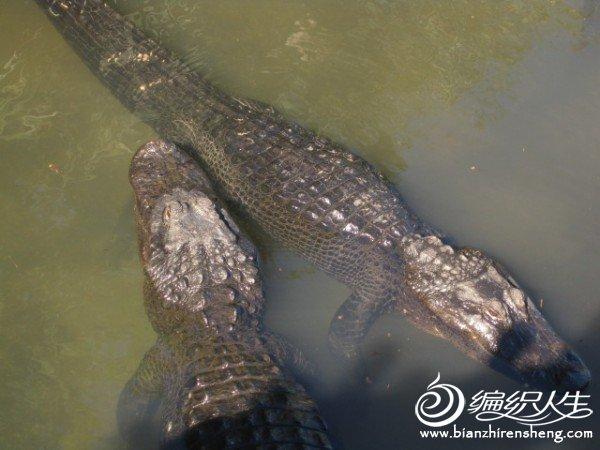 织姐拍摄--佛罗里达某鳄鱼馆里 (4).jpg