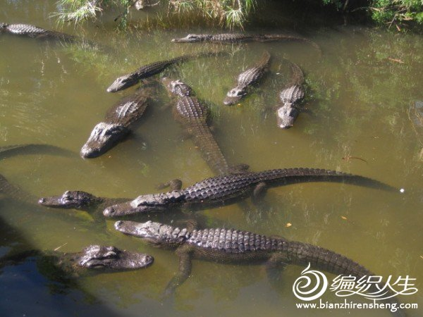 织姐拍摄--佛罗里达某鳄鱼馆里 (5).jpg