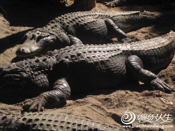 织姐拍摄--佛罗里达某鳄鱼馆里 (1).jpg