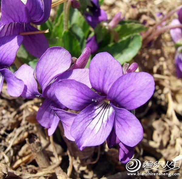 紫罗兰花.jpg