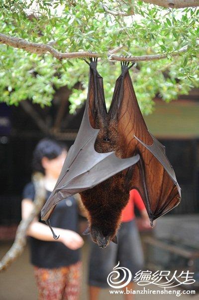 A9看过如此大的蝙蝠吗?.jpg