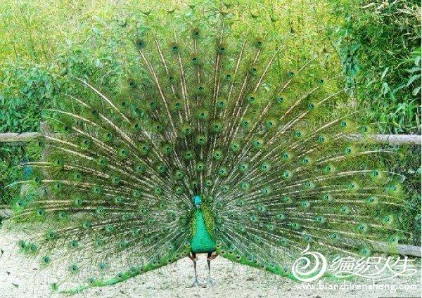 绿孔雀.jpg