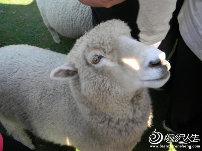来讨食的羊儿