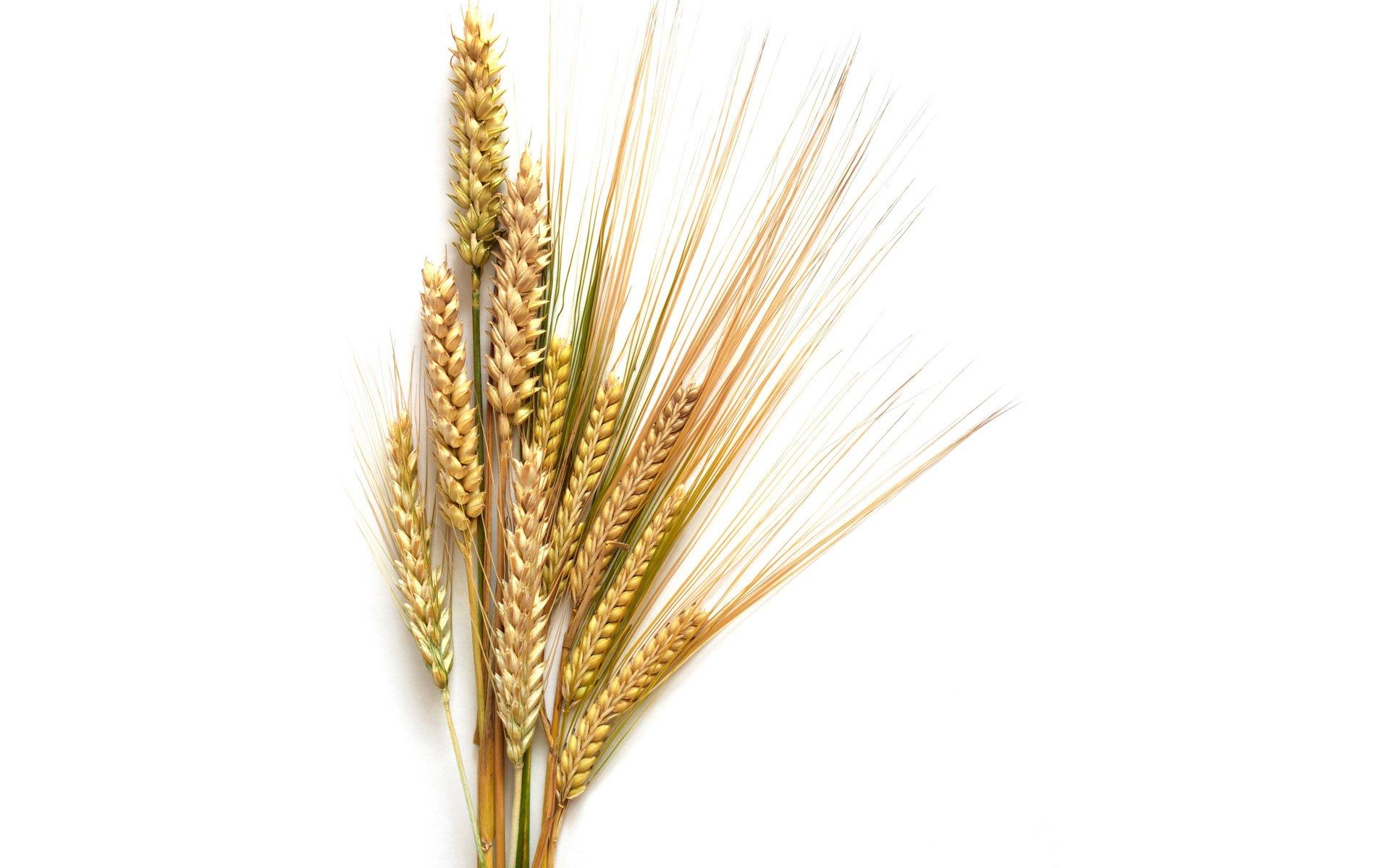 Wheat_001003.jpg