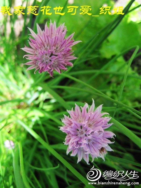 我家花园五月花卉-织姐拍摄- (4).jpg