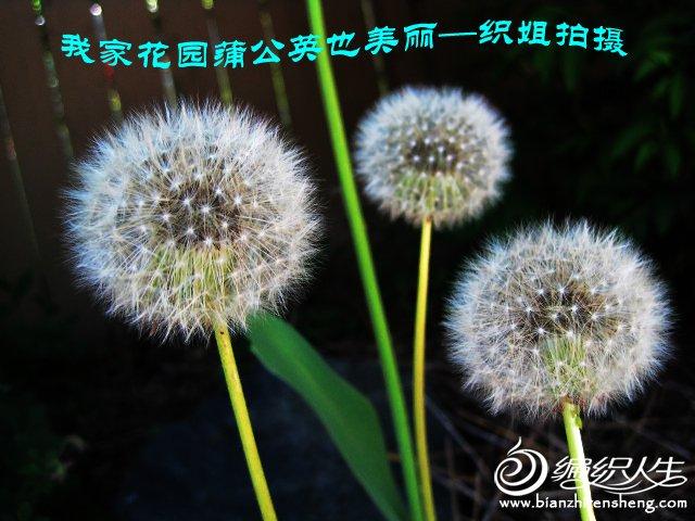我家花园五月花卉-织姐拍摄- (7).jpg