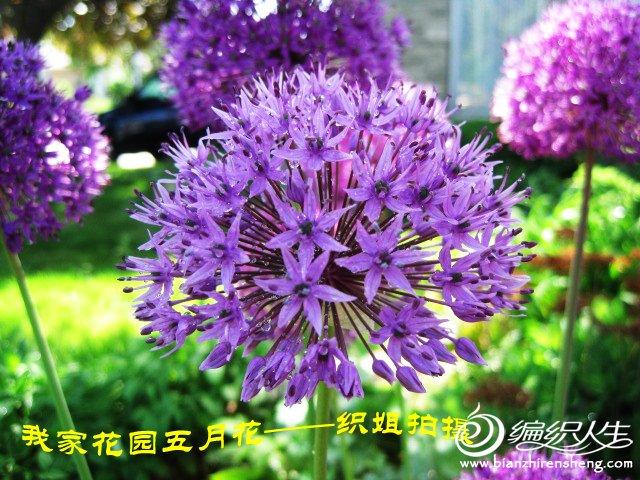 我家花园五月花卉-织姐拍摄- (10).jpg