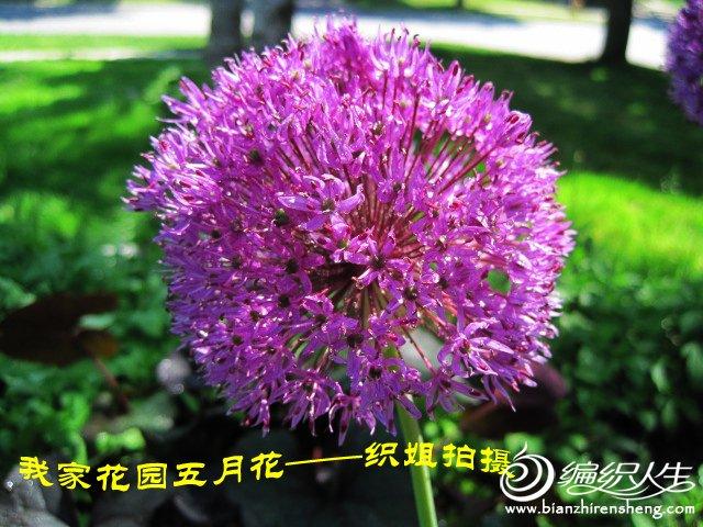 我家花园五月花卉-织姐拍摄- (11).jpg