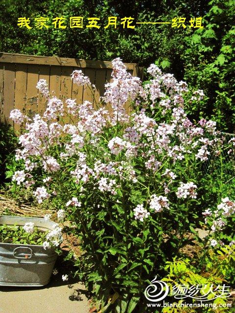 我家花园五月花卉-织姐拍摄- (16).jpg