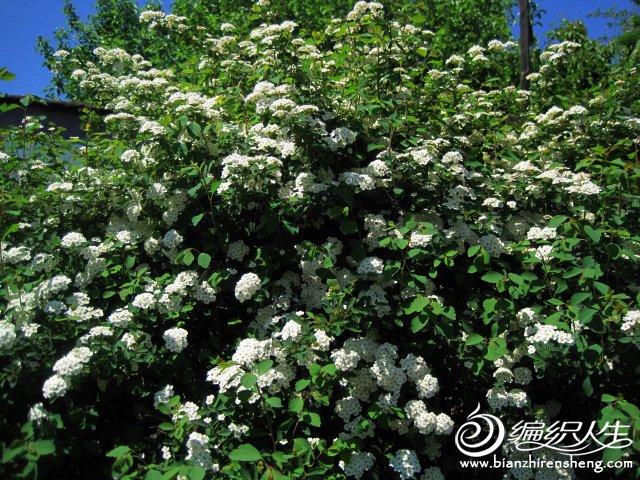 我家花园五月花卉-织姐拍摄- (17).jpg