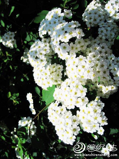我家花园五月花卉-织姐拍摄- (18).jpg