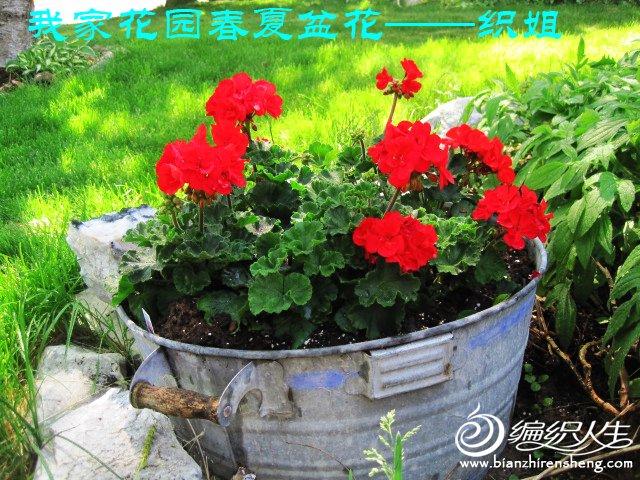 我家花园五月花卉-织姐拍摄- (25).jpg