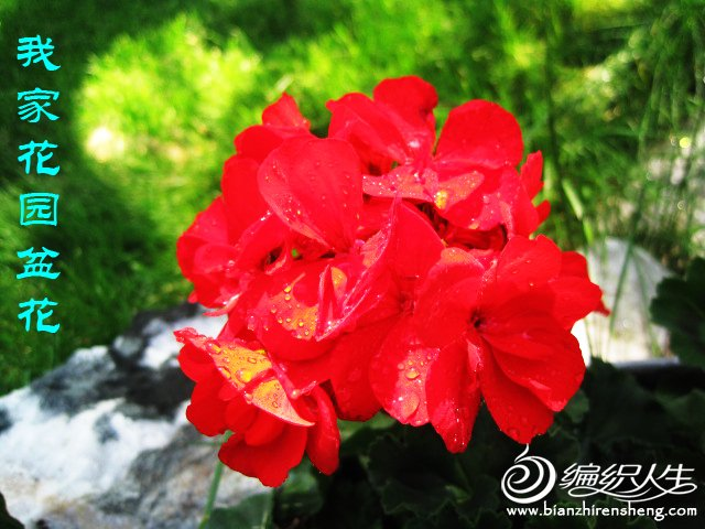 我家花园五月花卉-织姐拍摄- (27).jpg