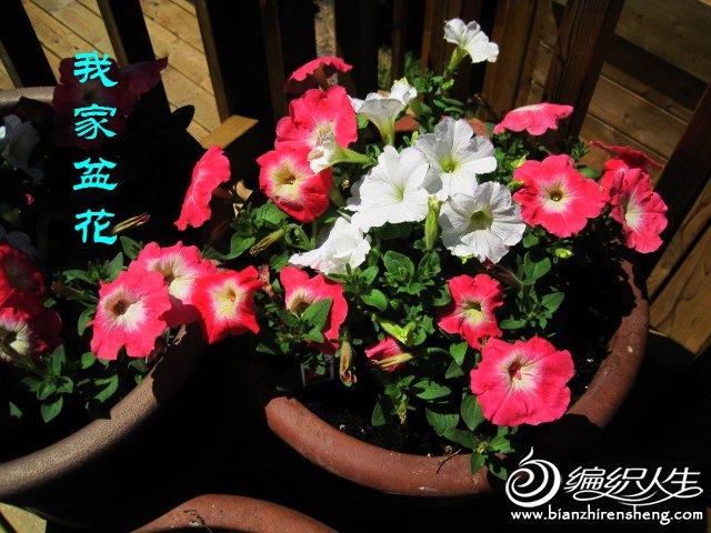 我家花园五月花卉-织姐拍摄- (28).jpg