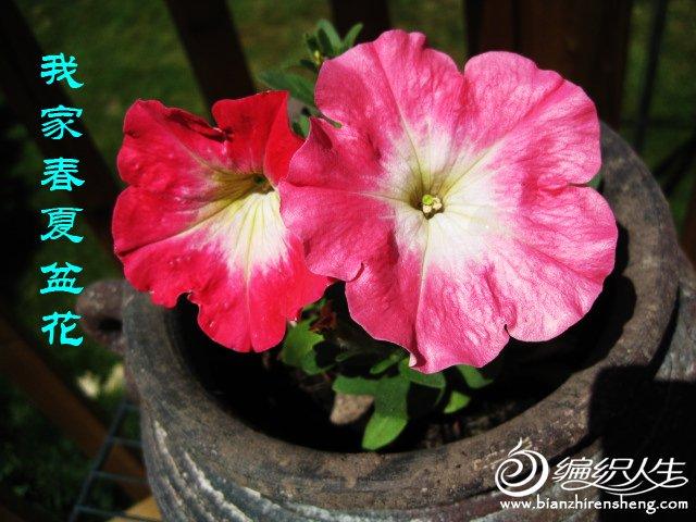 我家花园五月花卉-织姐拍摄- (29).jpg