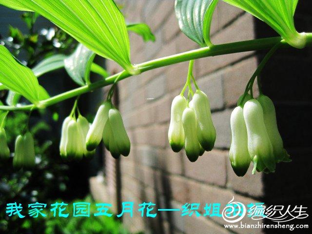我家花园五月花卉-织姐拍摄- (33).jpg