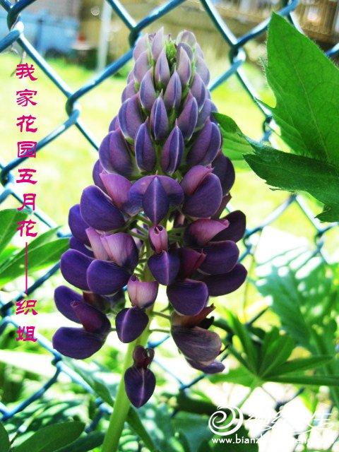 我家花园五月花卉-织姐拍摄- (35).jpg