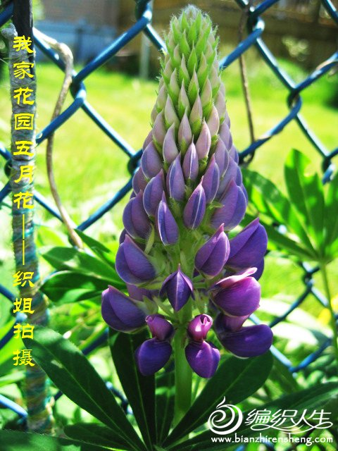 我家花园五月花卉-织姐拍摄- (37).jpg
