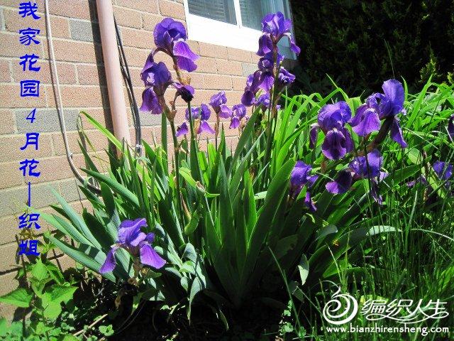 我家花园五月花卉-织姐拍摄- (41).jpg