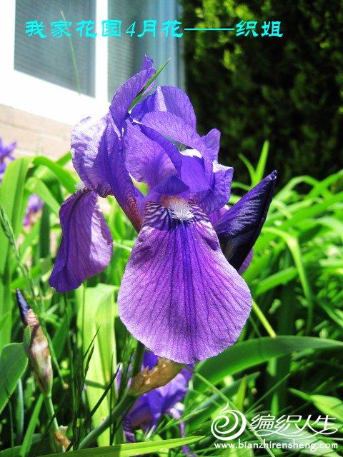 我家花园五月花卉-织姐拍摄- (42).jpg