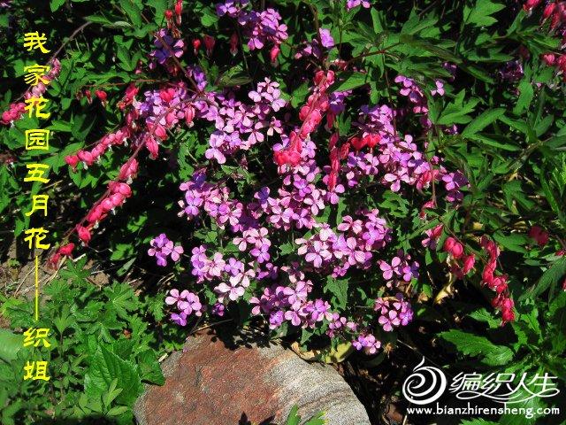 我家花园五月花卉-织姐拍摄- (43).jpg