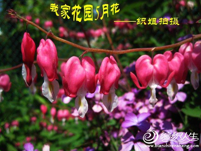 我家花园五月花卉-织姐拍摄- (44).jpg