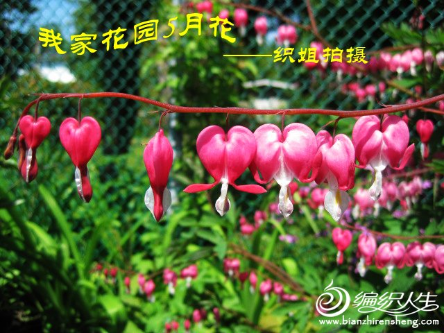 我家花园五月花卉-织姐拍摄- (45).jpg