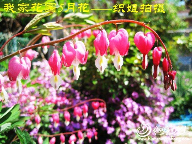我家花园五月花卉-织姐拍摄- (46).jpg