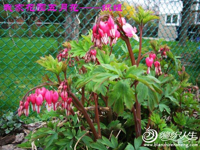 我家花园五月花卉-织姐拍摄- (47).jpg