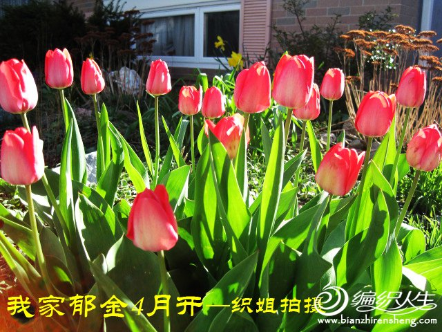 我家花园四月花卉——织姐拍摄- (15).jpg