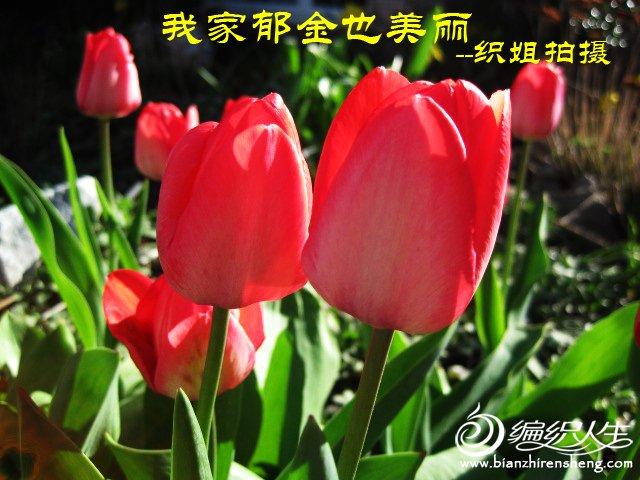 我家花园四月花卉——织姐拍摄- (16).jpg