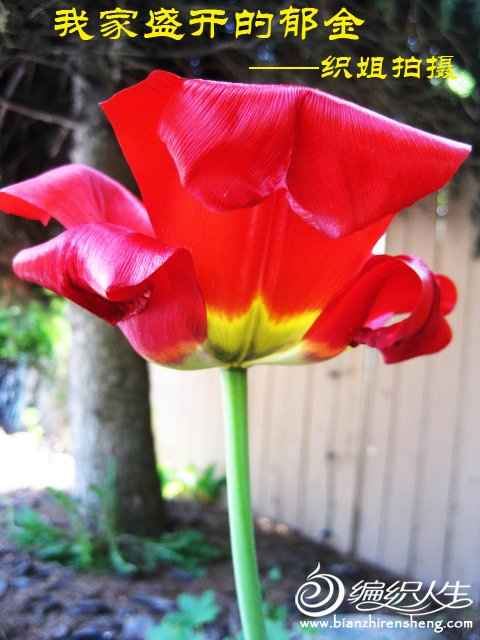 我家花园四月花卉——织姐拍摄- (22).jpg