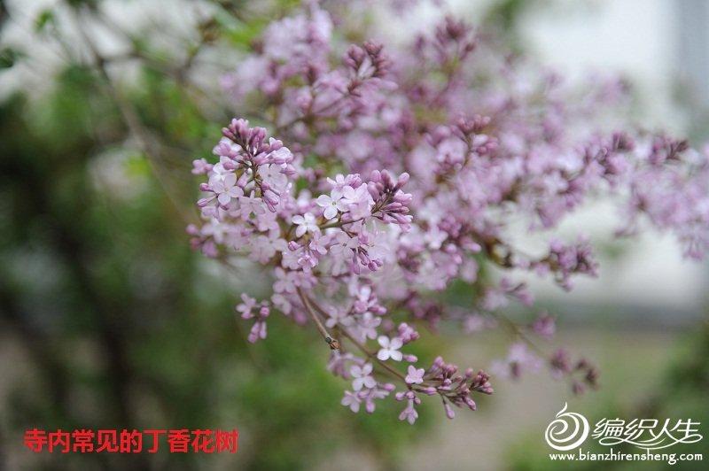 5,丁香花树.jpg