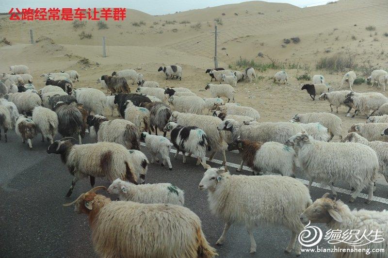 15,车让羊.jpg