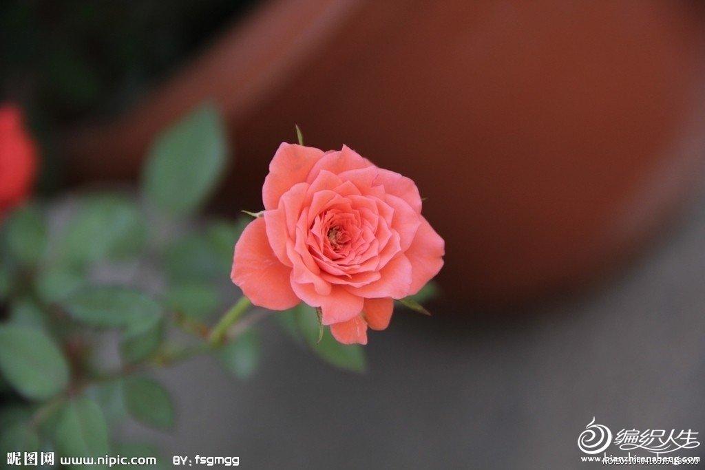 蔷薇0.jpg