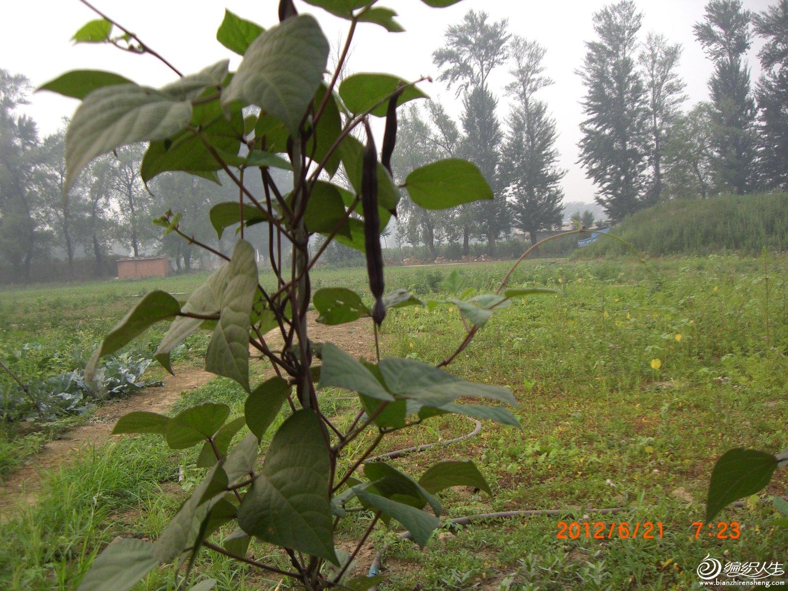 紫扁豆.JPG