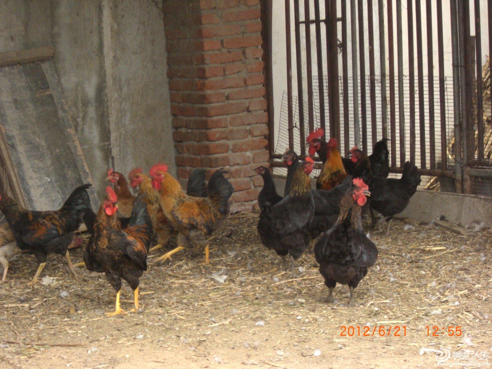 公鸡和母鸡.JPG