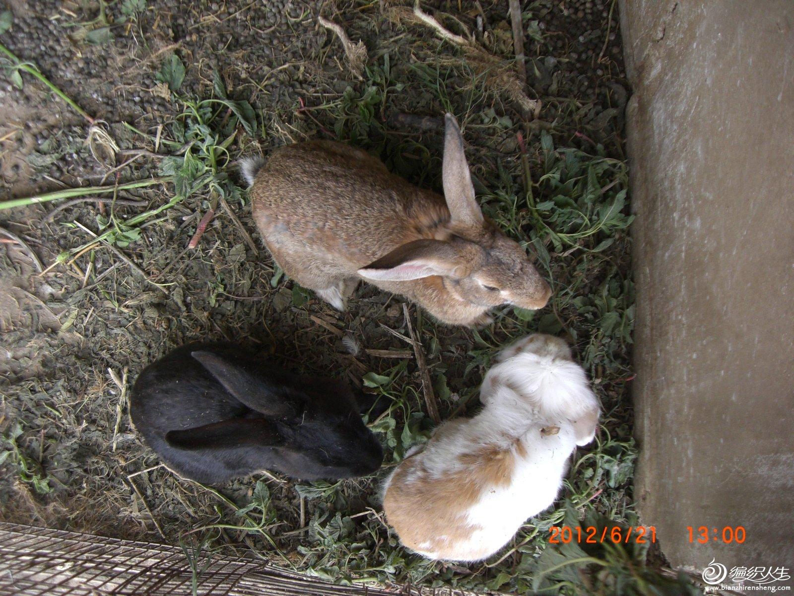 长耳兔和黑兔.JPG