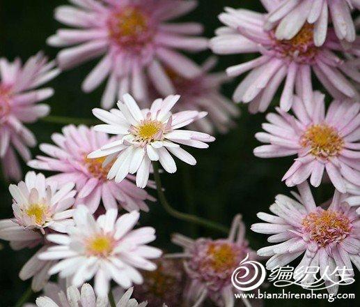 雏菊1.jpg