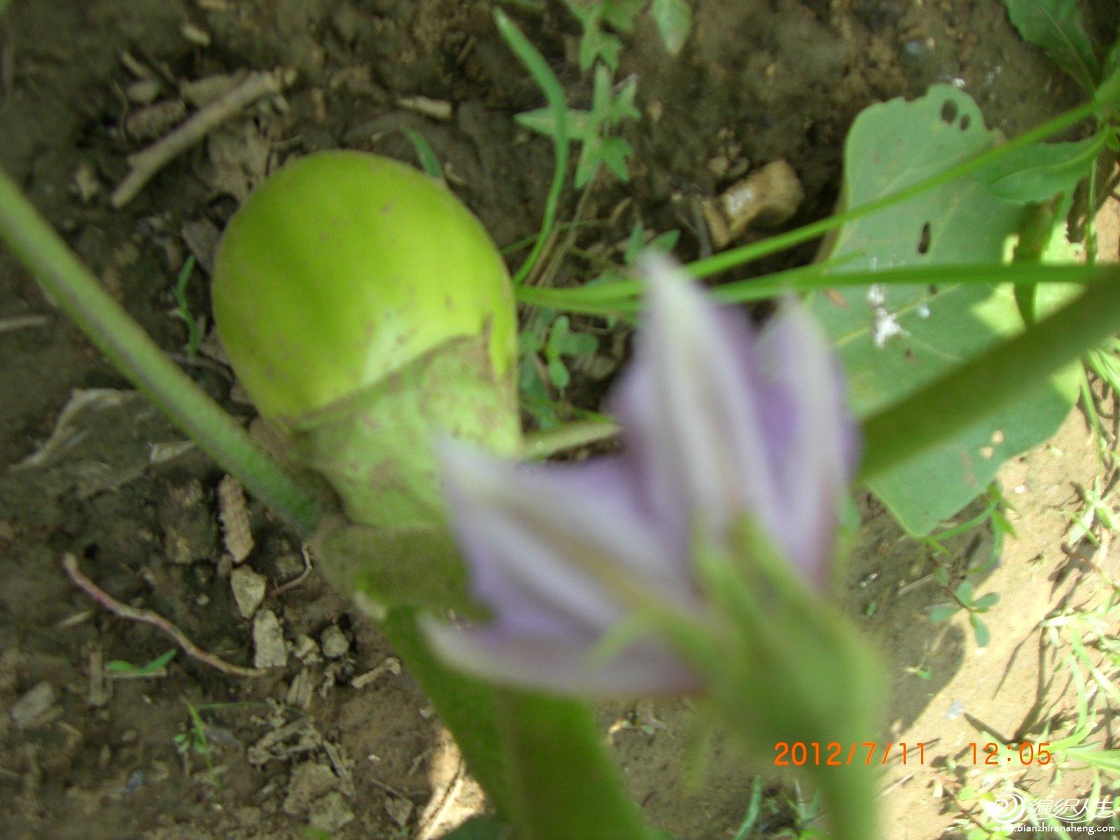 绿茄子.JPG